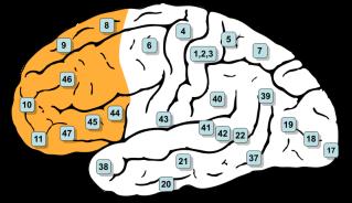 Localización del córtex prefrontal (en naranja). Fuente: Wikipedia