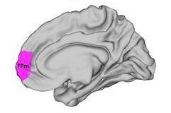 Localización del polo frontal lateral (en morado). Fuente: ABC