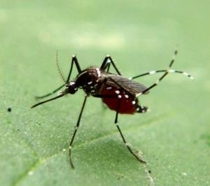 mosquito enfermedad