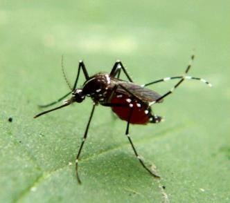 """Este es el mosquito tigre, el objetivo de AtrapaelTigre.com. Es disitinguible por la raya blanca en el tórax (raya en lo que sería la """"espalda""""). Foto de A.H. Harlan, por Armed Forces Pest Management Board. https://www.flickr.com/photos/afpmb/"""