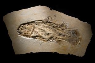 Fósil de celacanto.