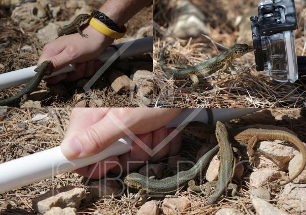 Estas tres fotos hechas por Isabel, de MAB, demuestran lo cerca que tuve las lagartijas. La lagartija de la foto de arriba a la izquierda llegó a subir por mi brazo casi hasta el codo.