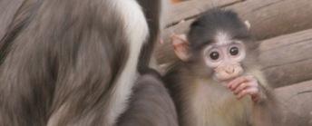 Cría de mangabey gris de corona blanca en el Zoo de Barcelona. Fotografía del Zoo de Barcelona. http://www.zoobarcelona.cat/es/conoce-el-zoo/animales-por-categorias/detalle-ficha/animal/mangabey-gris/