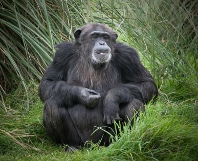 Actualmente hay 703 especies de primates en el mundo y más de la mitad están amenazadas. http://www.theguardian.com/environment/2015/nov/24/more-than-half-of-the-worlds-primates-now-on-endangered-species-list Fotografía de un chimpancé por William Warby: https://www.flickr.com/photos/wwarby/5026590985/