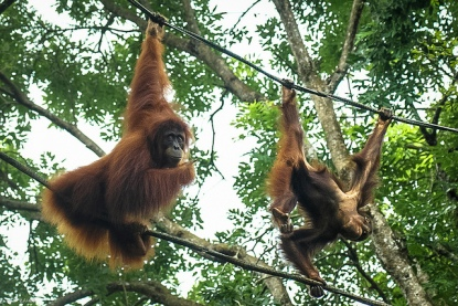 Orangutanes fotografiados por Hadi Zaher. https://www.flickr.com/photos/hazara/11477691114/