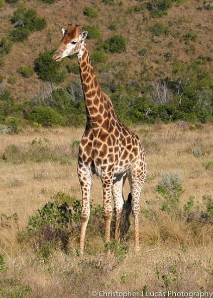 Fotografía de una jirafa en Sudáfrica. Su largo cuello ha estado siempre relacionado con la propuesta evolutiva de Lamarck. Fotografía de Christopher Lucas. https://www.flickr.com/photos/chrislucasproadventure/11739621586/