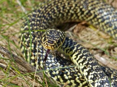 Una serpiente verdiamarilla como esta me mordió hace unos años. Es una de las serpientes más bonitas de España, puede llegar al metro y medio de largo y presenta un carácter francamente agresivo (http://www.vertebradosibericos.org/reptiles/hievir.html). Fotografía de Bernard Dupont https://www.flickr.com/photos/berniedup/14086221173/