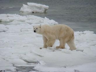El oso polar es una especie que está amenazada por la pérdida de hábitat no por su caza. ¿Es necesario prohibirla cuando no tendrá ningún efecto en la mejora de la especie y, encima, perjudicas a una comunidad humana? Fotografía de F. Tronchin. (https://www.flickr.com/photos/frenchieb/4112147399/)