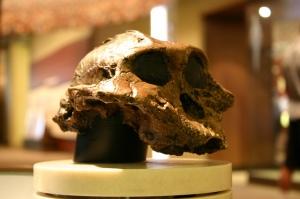 Cráneo de Paranthropus boisei en el Museo Smithsonian de Historia Natural. Imagen de Ryan Somma. https://www.flickr.com/photos/ideonexus/4697702333/