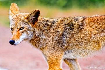 Imagen de un coyote normal, esbelto y más pequeño que un lobo. Fotografía de David Yu. https://www.flickr.com/photos/davidyuweb/4798959909/