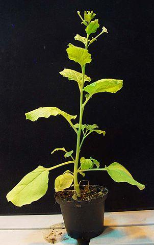 Fotografía de un ejemplar de Nicotiana benthamiana, la planta en la que se introdujeron los genes para sintetizar un precursor de la podofilotoxina. Autor desconocido (Public Domain, https://en.wikipedia.org/w/index.php?curid=14322538).
