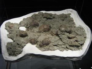 El meteorito que aniquiló a la gran mayoría de dinosaurios cayó en un momento en que las redes tróficas de los dinosaurios parecían ser más frágiles y susceptibles a perturbaciones. Los fósiles (como estos huevos) y las zonas adyacentes son los únicos restos que tenemos para saber qué les ocurrió realmente. Fotografía de Craig Dylke. https://www.flickr.com/photos/traumador/3802239570/