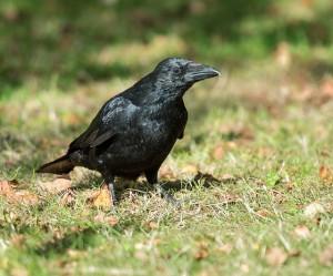 Es curioso como un ambiente diferente provoca cambios comportamentales tan marcados como el observado en la corneja negra. Imagen de Nature England / Julian Dowse. https://www.flickr.com/photos/naturalengland/22192583788/