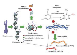 ¿Dónde se sitúan las señales epigenéticas? Las metilaciones se producen en el mismo material genético, principalmente donde una citosina precede a una guanina (dos de los cuatro nucleótidos que forman el ADN), mientras que las acetilaciones, así como las fosforilaciones y las ubiquitinaciones, se producen en las colas de las histonas (las líneas azules que salen del nucleosoma en el dibujo). Fijaos que aquí se observa bien la estructura del collar de perlas en la cromatina. Imagen de AJC. https://www.flickr.com/photos/ajc1/8232297246/