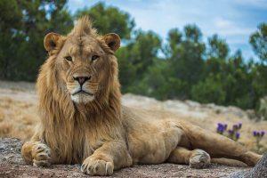 Vale, imaginad al lindo gatito que tenéis acurrucado en vuestro regazo. Si tuviera el tamaño de este león, ¿dudaríais sobre sus capacidades de matar? Fotografía de Pauline Guilmot. https://www.flickr.com/photos/paulineguilmot/14437071224/