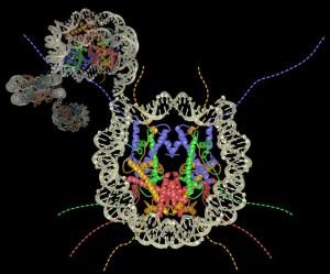 """Estructura de los nucleosomas, formados por las histonas en medio y el ADN alrededor. El conjunto de nucleosomas parece formar un """"collar de perlas"""", mediante el cual se empaqueta el material genético. Imagen de Penn State. https://www.flickr.com/photos/pennstatelive/5730052245/"""