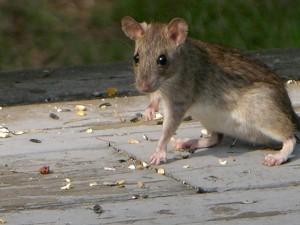 Por mucho asco que den las ratas, ratones y palomas, también son seres vivos. Quizá deberíamos preguntarnos qué tipo de ciudad queremos en la que veamos animales con mejor reputación social. Fotografía de Alex O'Neal. https://www.flickr.com/photos/alexfiles/3872887266/in/photolist-gzVb7V-6cxQt2-qoPsN8-6Ueyso-qMDdqb-6njKo6-8UJxta-9tVVjg-jHCShh-3S8tH-hbT5jA-bJ63bB-bJ61nK-dtpvFU-6y4oqj-5Dfimm-dtpvtf-dtpvA7-oHY3rw-5R6bG-irEwyt-qCYhQw-5skYC2-4piD6E-sZQyU1-5Lbuu8-9ADu3b-81xCk8-8uw3iR-fMuhhF-irFUQm-9Swa56-r9hUd9-cKSjkA-6SY13-9kMoF8-amZApu-9xLbLE-4TQZFX-6SXSY-5r5nzp-7cW15V-eeCrcS-8NpFKi-3KGXXX-7cZScb-4DNPQq-6PTFQG-4gvMJv-7vJFMS