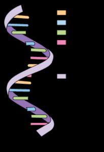 Estructura básica del ARN. Este ácido nucleico, como el ADN, no solo tiene como función guardar información genética y expresar proteínas, sino que ayuda al ADN a expresar sus proteínas, regulando su formación y hasta regulando su misma expresión. Además, puede tener otras muchas funciones, motivo por el cual existen muchos tipos diferentes. Imagen de AndreaLaurel. https://www.flickr.com/photos/81461206@N02/7490012030/