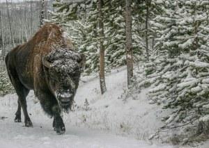 Imagen de un búfalo (o bisonte americano) en el Parque Nacional de Yellowstone. Esta especie, a diferencia del ganado que lo sustituyó, está perfectamente adaptada a las condiciones imperantes en las Grandes Llanuras, así como en otros lugares de Estados Unidos. Fotografía de Clark. https://www.flickr.com/photos/photos_by_clark/16976118627/in/photolist-ovqHSq-pN7f4t-rQR4DA-hk24bZ-putfa2-ft73rr-ftmoPf-ftmn79-fyKEDH-fyKJZH-7dz522-6wGDef-rS83Ct-7dCYKh-9o6Zq2-ftmogw-6EvqP-ft727R-ft71N2-ft72ye-ft71DV-dDqF8S-9oa5zQ-4rBBwX-7dz4b8-cVJZWG-bsGwDE-7cge13-oQQSQ3-oSQRZj-ft72hc-ftmnXS-cxEYJC-ft73R6-4rFRb1-dDkdMk-ofXYxZ-7zc1QG-ft72XX-7dz4BK-4rFTgb-4rBCc8-7dz5Ge-9oa8sj-ao56pE-7zc2gs-dDke68-56Mm1R-pGsM38-4rFQqL