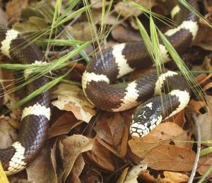 Los ejemplares de serpiente real de California liberados en Gran Canaria provenían de un criador que quiso deshacerse de ellas. Había algunas albinas y otras con colores variados, pero eso no ha evitado que sean voraces depredadores de la fauna autóctona. Fotografía de J. Maughn. https://www.flickr.com/photos/jmaughn/7186291488/