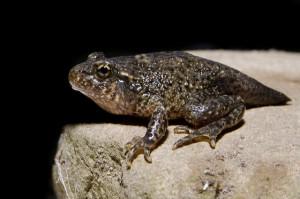 El sapo partero común (Alytes obstetricans) es una de las especies más amenazadas por Batrachochytrium dendrobatidis, con disminuciones de las poblaciones de hasta el 80%. Fotografía de janofonsagrada. https://www.flickr.com/photos/janofonsagrada/9275848483/in/photolist-nn1kDq-fhv8yn-nn1vA9-nDuaSJ-nDd8HT-cRuu7W-88S1NQ-bnMBfS-9vC3pe-f8F9A8-dguxGj-depxfx-e5jprs-auTigX-cRuub9