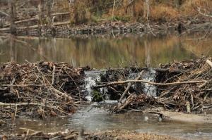 Presa construida por castores: ¿cuántos árboles habrán cortado? ¿Cuántos litros de agua de menos llegan a la parte de debajo de la presa? ¿Cuánta agua se habrá acumulado en la parte de arriba? Fotografía de Jeff Hudgins. https://www.flickr.com/photos/hutch1031/8353041827/