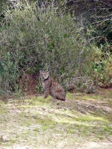 Imagen de un lince ibérico (Lynx pardinus). Cuando son adultos, los linces ibéricos se mueven en un radio máximo de 40 kilómetros. Pero hay individuos capaces de recorrer mucho más territorio. Fotografía de jepeto. https://www.flickr.com/photos/92053692@N02/11801629204/in/photolist-pC2LXa-673L6m-n8Bxeh-7FKpNF-7RXVqi-7c8iNa-iYUjJ3-6nAfvx-iYUcGC-iYSrcA-4b4NpR