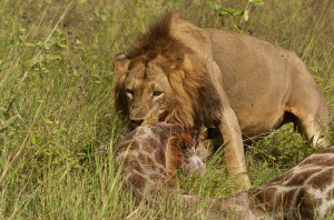 lleo menjant girafa leon comindo jirafa