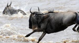 Imagen de un ñu en migración cruzando el río Mara, donde los cocodrilos esperan ansiosos poder cazar alguno de estos animales. Fotografía de Ray Morris. https://www.flickr.com/photos/vidyo/6130346986/