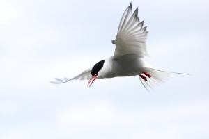 Imagen de un charrán ártico (Sterna paradisaea). Este pájaro hace 80000 kilómetros al año en su viajes de ida y vuelta entre Groenlandia y la Antártida. Fotografía de themadbirdlady. https://www.flickr.com/photos/themadbirdlady/9112567895/