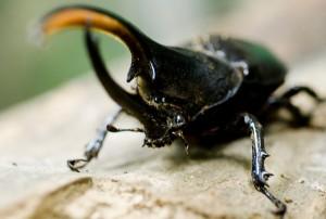 escarabajo hercules especie taxonomia