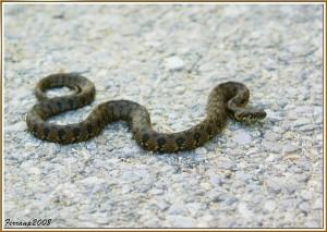 serpiente, sin patas