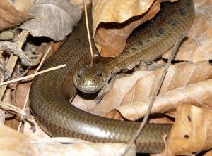 lagarto sin patas, no serpiente