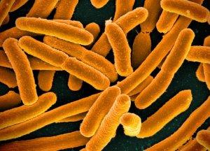 e coli enfermedad