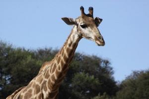 jirafa especie amenazada marginada