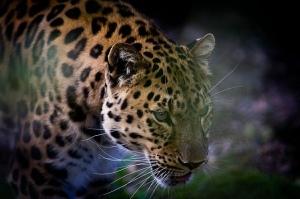 leopardo especie generalista