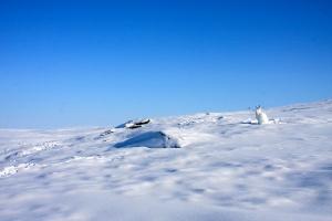 liebre ártica camuflaje