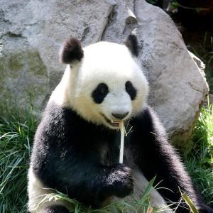 panda especie bonita no marginada