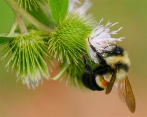 abejorro bombus affinis
