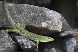 lagarto ocelado dragón st jordi naturaleza