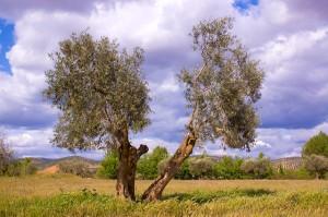 olivo enfermedad