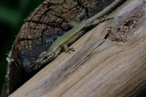 liolepis podarcis lagartija podarcia