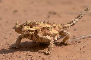moloch reptil conservación