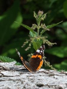 vanessa atalanta mariposa