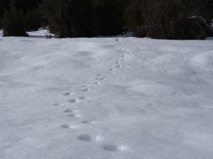 huellas zorro nieve
