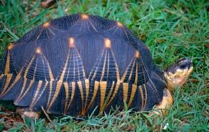 a radiata tortuga amenazada extincion trafico ilegal