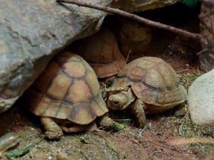 t kleinmani tortuga amenazada extincion trafico ilegal
