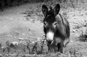 animal fantástico burro catala