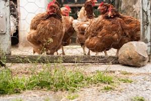 animal fantástico pollo gallina