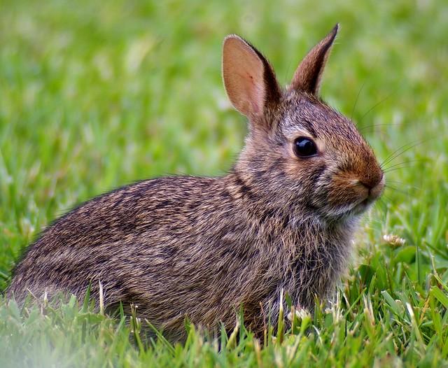 El conejo es una especie clave